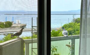 今までも何度か来ていましたが、鳩がうちのベランダに来た瞬間を激写鳩が喜びそうな食べ物は特…