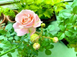 おはようございますまたまたベランダの薔薇が咲きました四季咲きのバラですが、ゆうこりんの…